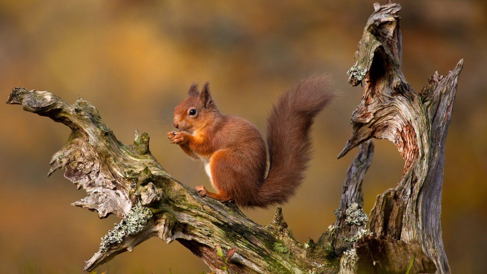 英国红松鼠谢菲尔德大学